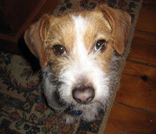 Gracie, our Jack Russell